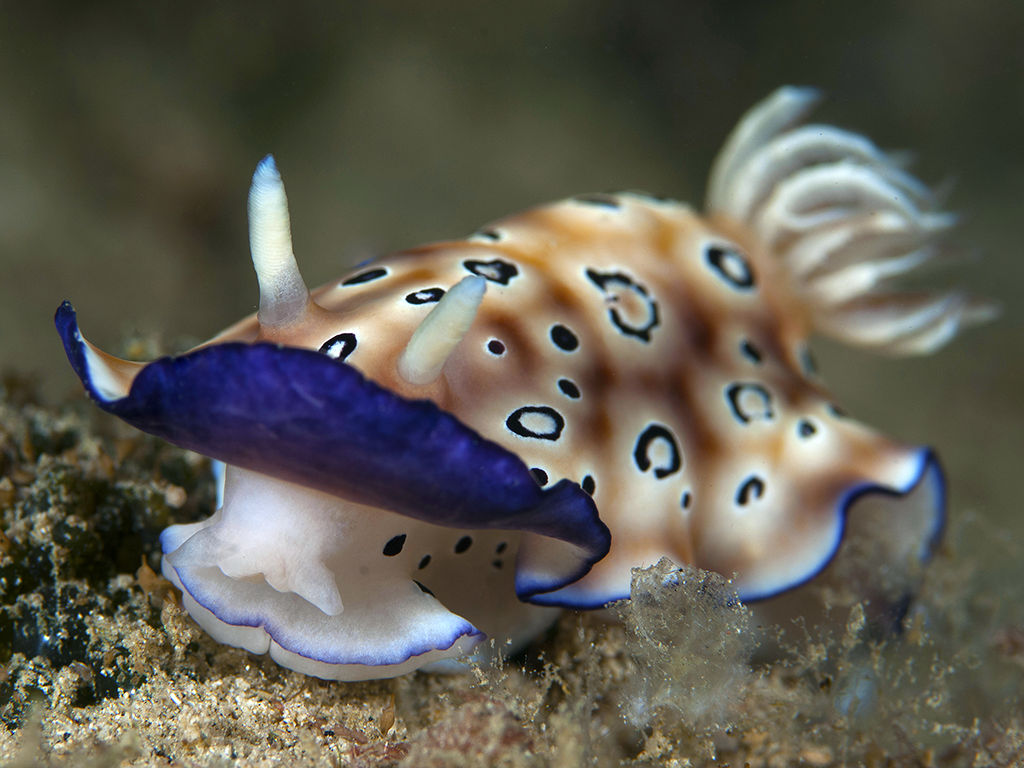 001-Nudibranch_Richard.Smith_Pelagian-9120-