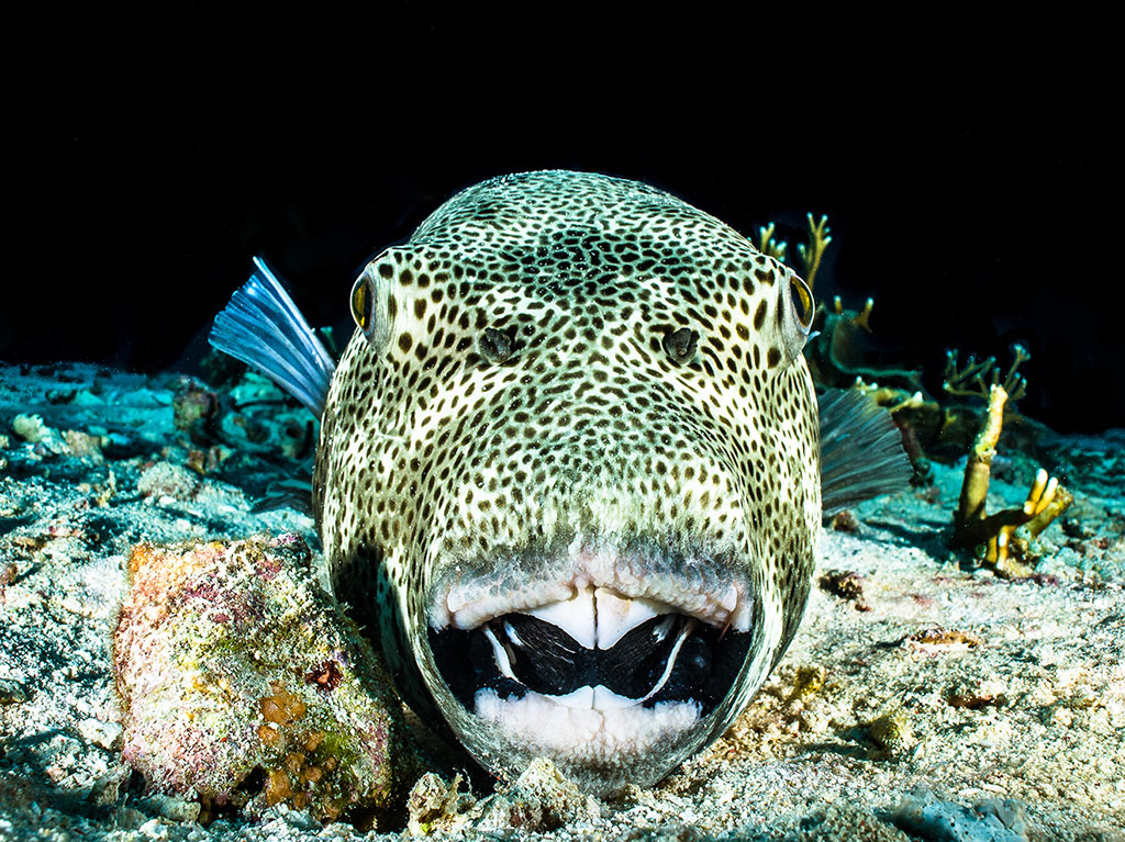003-a Puffer-Giant_photo by Wayne MacWilliams