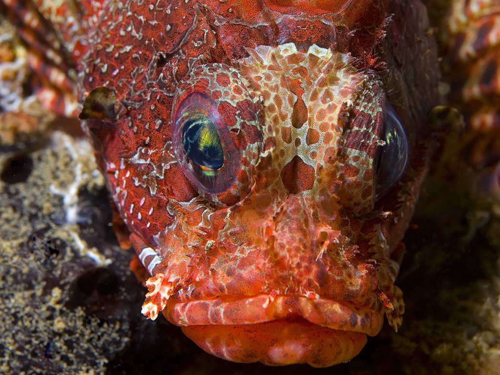 Shortfin Lionfish / Dendrochirus brachypterus