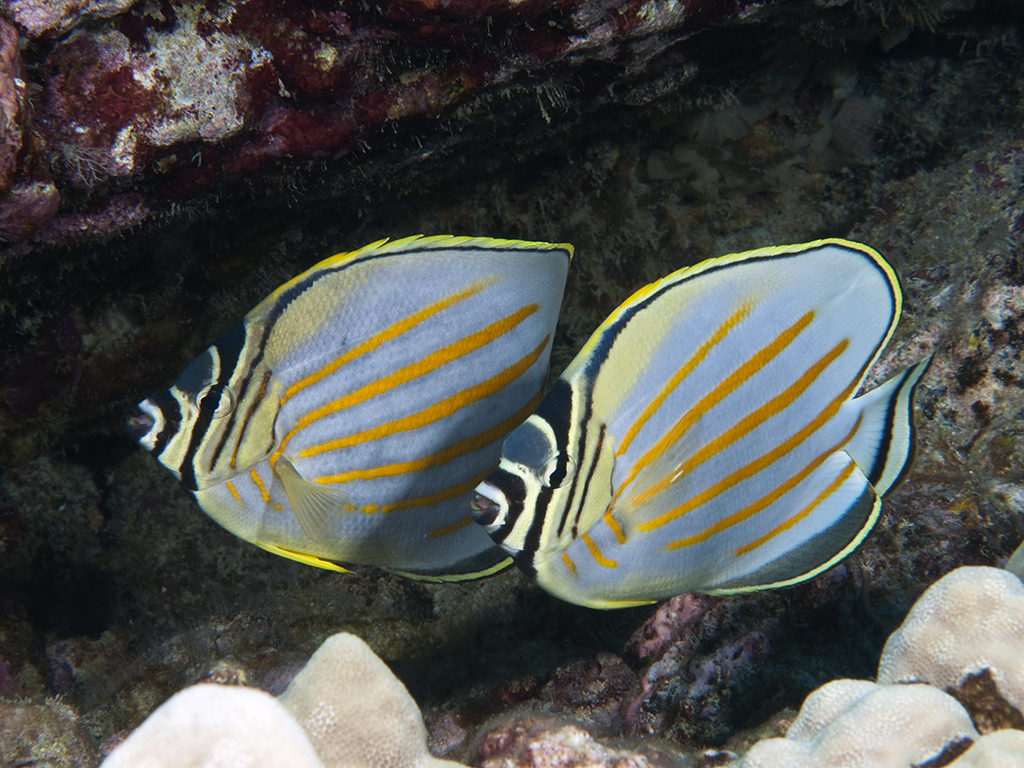 4_Butterfly fish_photo Walt Stearns