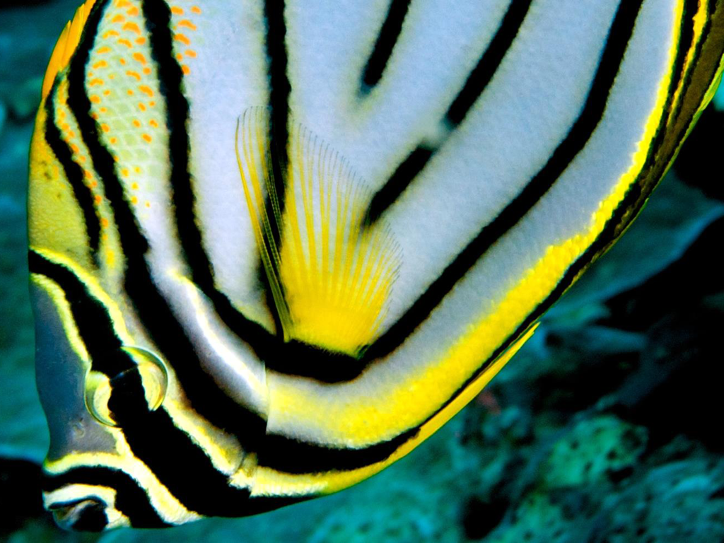 5_Butterfly fish profile_photo Frank Owens
