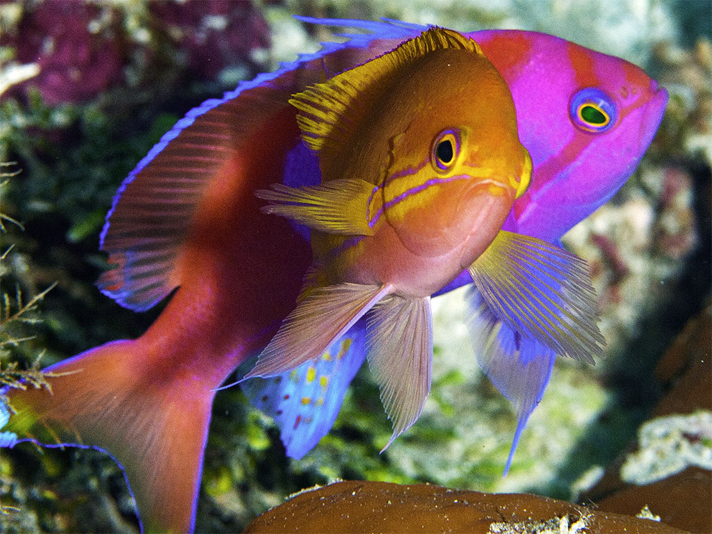 7-Anthias_Female& Male_Mark Vanderlinden
