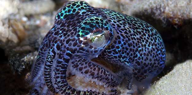 The tiny bobtail squid is a favorite subject of photographers and found on sites visited by Pelagian, such as Asphalt Pier. Photo by David Gray
