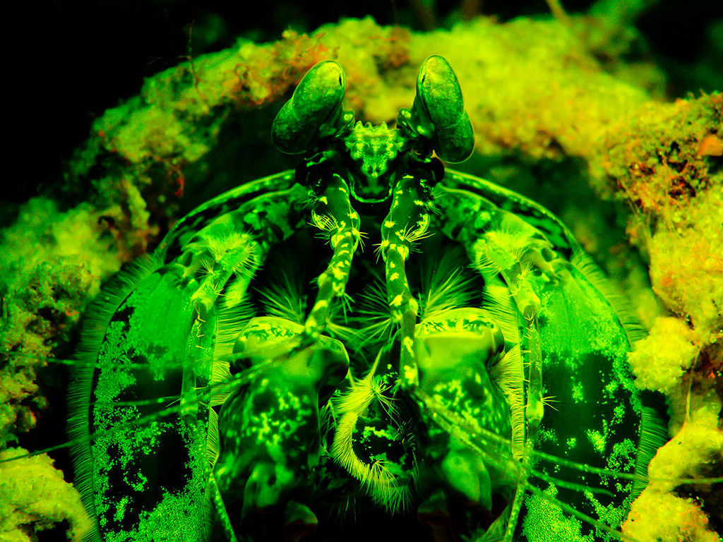 Mantis shrimp fluorescing_Wayne MacWIlliams