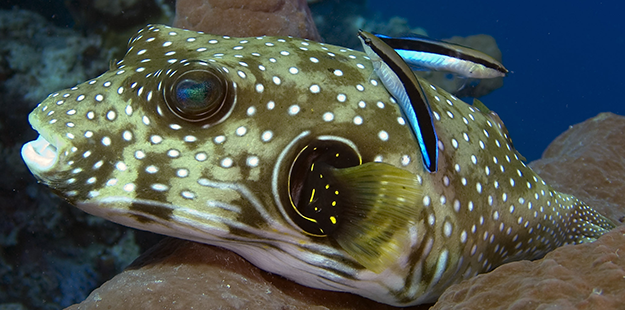 NEWB-Puffer fish with Cleaner Wrasses_Mark Snyder