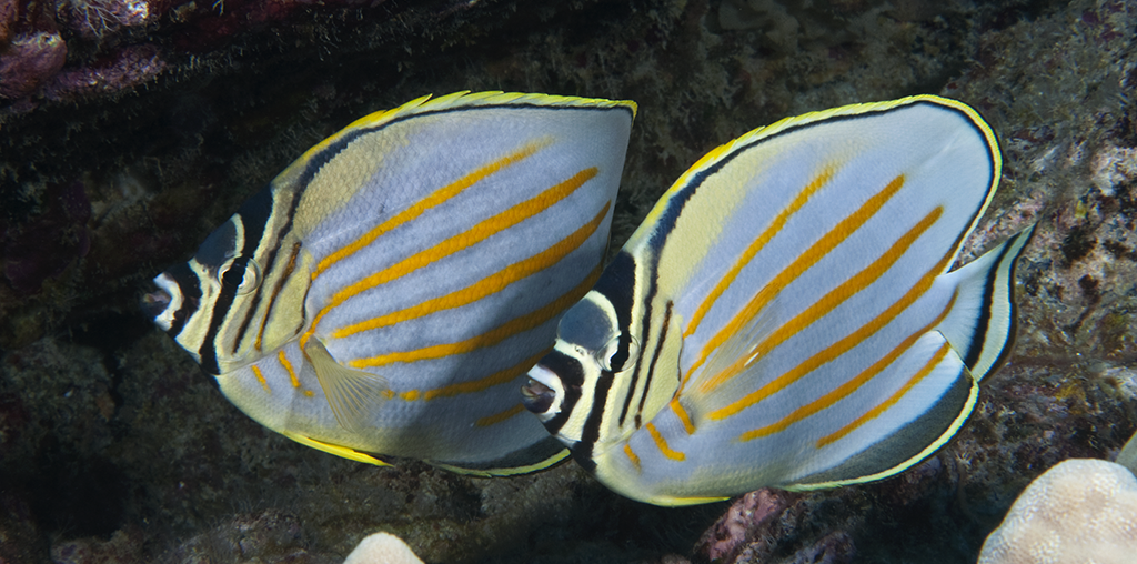 NEWBLOG-Butterfly fish_photo Walt Stearns
