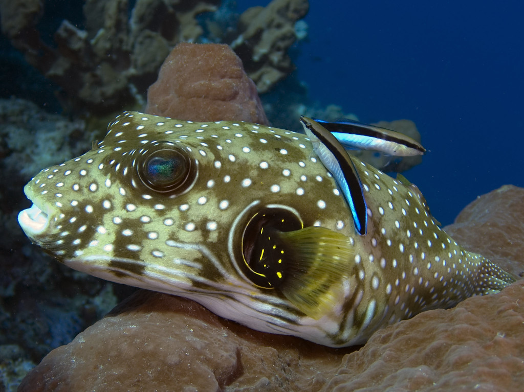 Puffer fish with Cleaner Wrasses_Mark Snyder