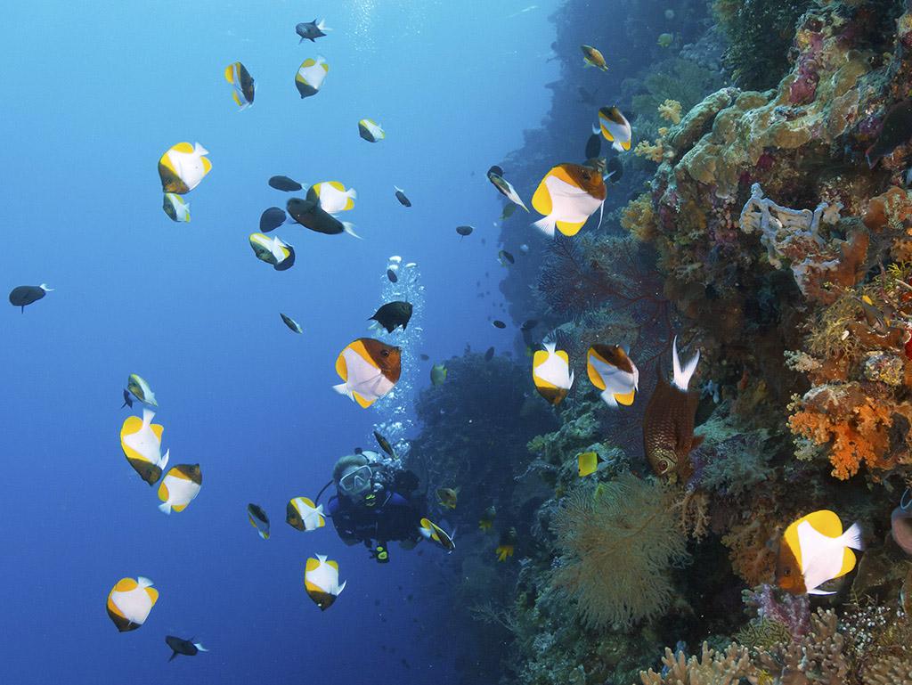 pyramid butterflyfish_walt stearns
