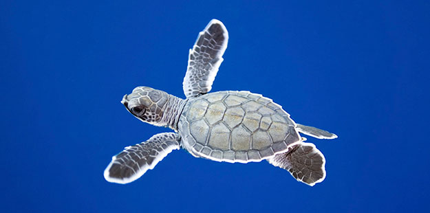 A baby turtle cruises in the open ocean. With the help of caring staff and a dedicated turtle nursery, we now offer these tiny mariners a better chance for survival. Photo by Walt Stearns