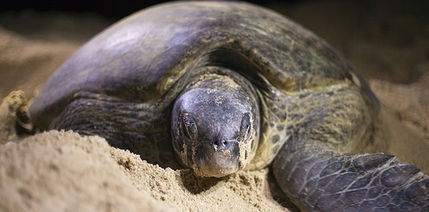 The same white sand beach that resort guests enjoy are also used by momma sea turtles, who come ashore under the cover of darkness to dig nests and bury a clutch of eggs in the sand, such as this large green female. Photo by David Evison