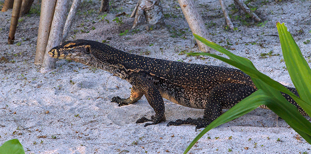 Monitor lizards 02_Paula Butler
