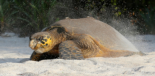 Female hawksbill turtle heads back to the ocean after laying eggs on Wakatobi's beach_WDR