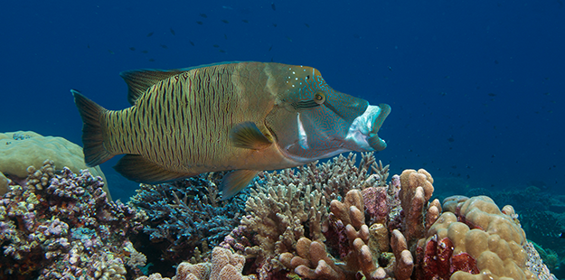 Larger individuals and adult Napoleon wrasses prefer to occupy limited home ranges in more open habitat on the edges of reefs, channels, and reef passes. hoto by Richard Smith