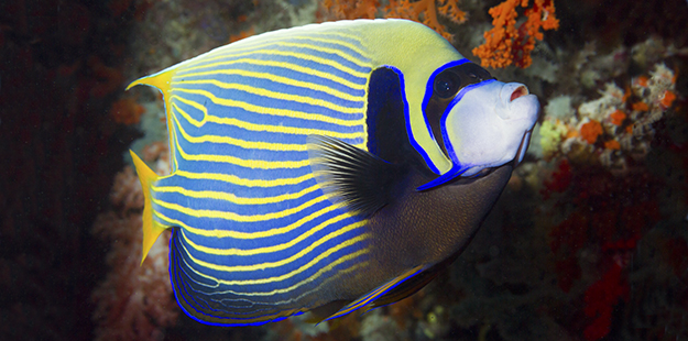 The intense blue and yellow stripes on the adult emperor angelfish are especially sensitive to our eyes and probably those of reef fishes too, but only at close proximity. Photo by Walt Stearns