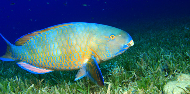 Feature Bi-color parrotfish_1000 x 430_WDR