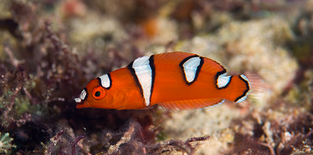 Because of its deep orange coloration with bright white accents the juvenile yellowtail coris is often mistaken for a clownfish. Photo by Richard Smith, facebook.com/OceanRealmImages