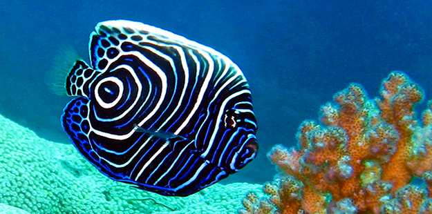 The juvenile emperor angelfish sports a psychedelic body coloration of swirls of dark blue with electric blue and white rings. It takes about 24 to 30 months for an emperor angelfish to acquire its adult coloring. Photo by Wakatobi Dive Resort