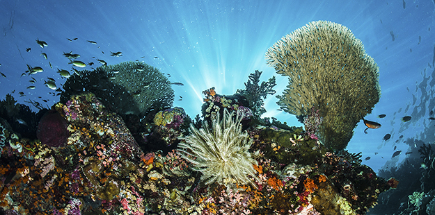 To harvest the energy of the sun, hard corals, such as this staghorn coral, cultivate a type of symbiotic algae known as zooxanthellae. Photo by Wayne MacWilliams
