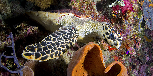 Sponges are a dietary staple of hawksbill sea turtles, hence why you will see them on the reefs more often than any other species. Photo by Rodger Klein
