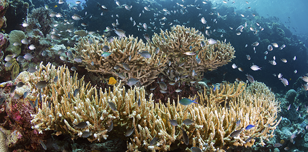 Wakatobi reef hard corals_Walt Stearns