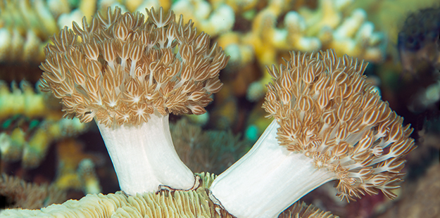 Xenia coral edit 625 x 310_Richard Smith