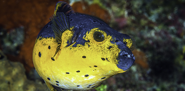 On rare occasions one may encounter a blackspotted puffer that is completely gold, or even orange. This photo was captured on Wakatobi's House Reef. Photo by Wayne MacWilliams