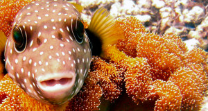 Cute and Deadly: Learn about the Puffer Family