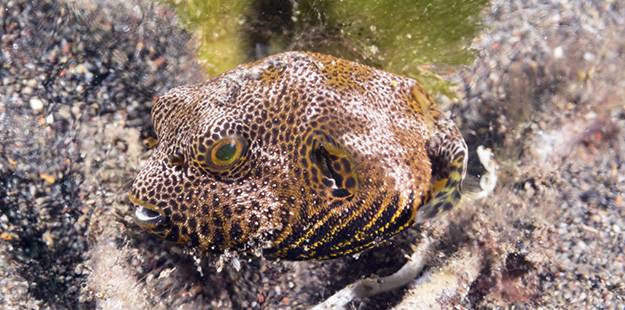The juvenile Star Puffer is solitary and found in shallow sand, rubble and weedy areas near protected inner reefs. Photo by Walt Stearns