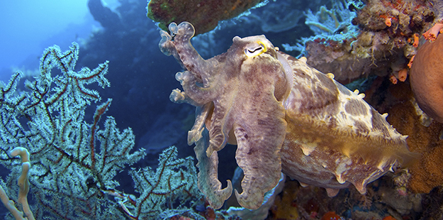 At times cuttlefish may cycle through color and pattern changes so rapidly that their skin will actually pulse. Photo by Mark Snyder