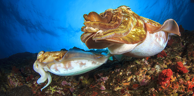 During courtship, the larger male cuttlefish will follow the female, eventually grabbing her with his tentacles in an attempt to turn her so they are face-t0-face. Photo by Rich Carey
