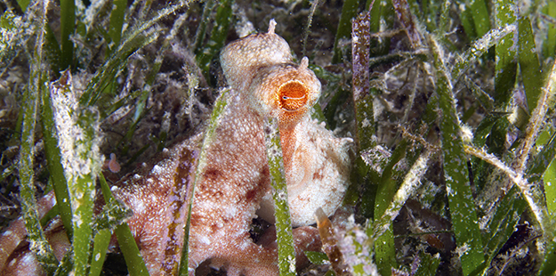 The seagrass meadows between Wakatobi's beach and house reef are home to many interesting creatures, such as frogfish, eels, pipefish and octopus (seen here). Photo by Walt Stearns