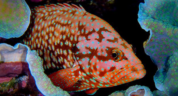 Coral Cod_Wayne Osborn
