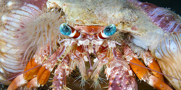Hermit crab with headdress 625 x 310_WDR