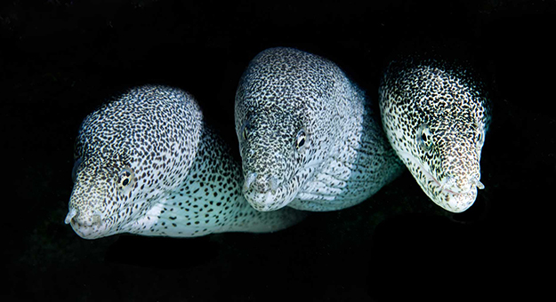 Pepper morays house reef_Pam Osborn