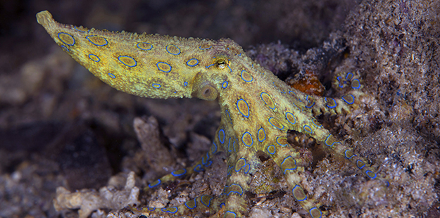 Another highlight to the unique marinelife found at Magic Pier include blue-ringed octopus, which often reveal themselves with a flash of their neon blue rings. Photo by Nigel Wade