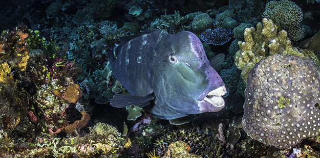 On Wakatobi's reefs you can find up to 35 species of parrotfish, including the more recognizable bumphead, known for it's larger size and bulbous forehead. Photo by Wayne MacWilliams