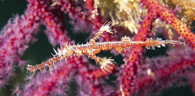 Ghost pipefish _ Walt Stearns