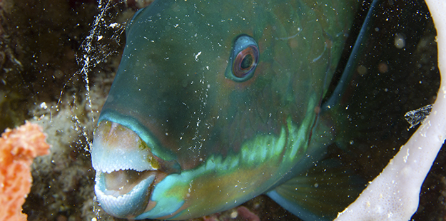 As sunset nears parrotfish will bed down and begin to secrete their signature cocoons, a mucous bubble that will become their bedchamber for the night. Photo by Walt Stearns