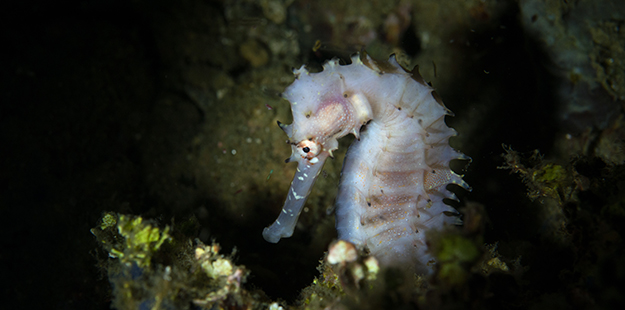 Rather than chase after a meal, seahorses use their strong prehensile tail, which is useless for swimming, to hold steady as they wait for the food to drift by. Photo by Luca Vaime