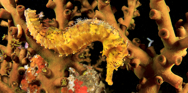Seahorses have an elongated snout formed by joined upper and lower jaws, turning these slow swimmers into one of the ocean's fastest feeders. Photo by Rich Carey