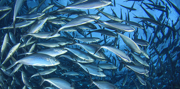 Schools of tuna, trevally and other pelagics are seen passing by in blue water during drift dives such as Gone with the Wind. Photo by Rich Carey