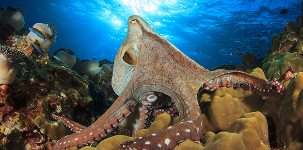 Swimming over the reef you may spot a large octopus perched on or next to a coral head serenely watching the world go by. This is probably a day octopus, also referred to as Cyane's octopus, or it's other namesake, the big blue. Unlike it's nocturnal relatives this species is seen typically during the day. Photo by Rich Carey