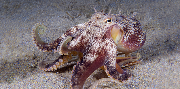 "When threatened, the coconut octopus might flip the shells around on top so that its arms extend out as it comically scurries away like a cartoon character. Should they abandoned their ""home,"" the typical walking stance of the coconut octopus might remind you of a prize fighter holding two of its arms in a boxer's stance. Photo by Walt Stearns"