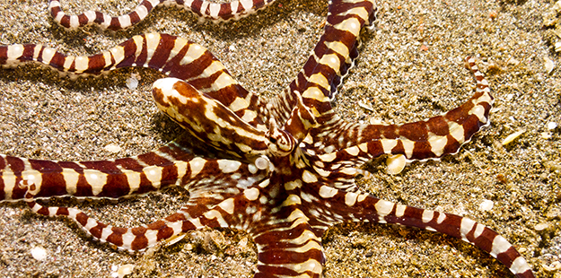 Unknown to science until the late 1990's, the Mimic octopus features perhaps the most amazing set of behaviors known among all family of octopi. Photo by David Evison