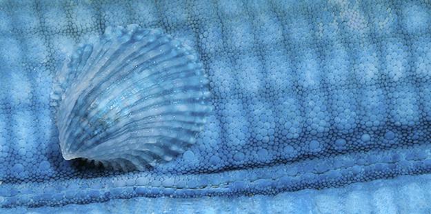 Blue mind-shell-wakatobi_GC