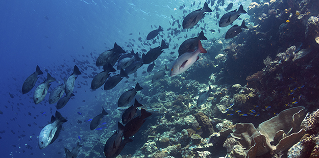 Bronze snappers at Turkey Beach on House Reef_walt stearns