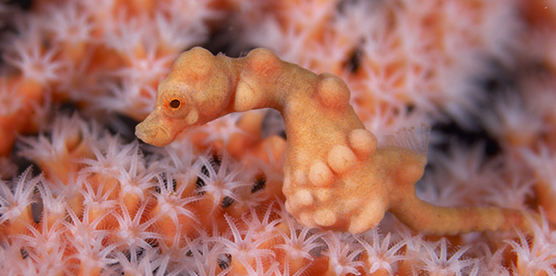 Species such as this Denise's pygmy seahorse cannot live without their host sea fan; the extreme camouflage that makes them near invisible on the sea fan would be obvious to predators anywhere else. Photo by Richard Smith