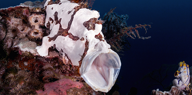 When prey is close, the frogfish makes one of the most impressive inhales in nature. Photo by Marco Fierli