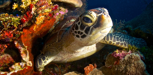 Meander along the wall on the House Reef and you're guaranteed to have an encounter with a green or hawksbill turtle. Photo by Steve Miller