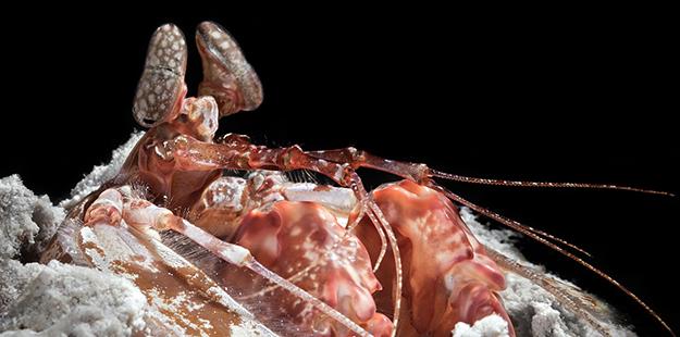 Mantis Shrimp Spearer_MF